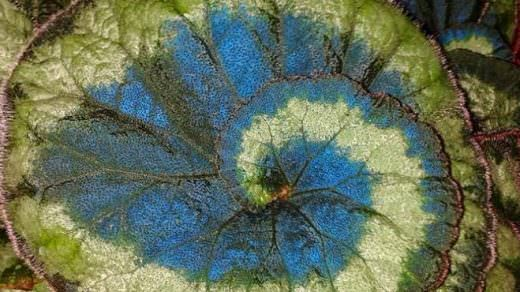 Mavi yapraklı bitkiler güneşten daha fazla enerji alıyor