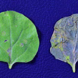 Bitki koruma da yeni umut: Protein Antibiyotikler