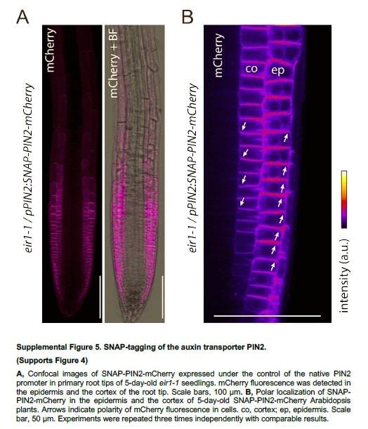 """in vivo bitki hücresi görüntülemesi için yeni bir yöntem """"SNAP-tag proteinler"""""""
