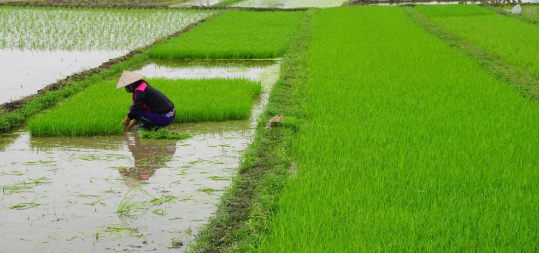 Yağışlardaki değişiklikler küresel gıda üretimini etkiler mi?